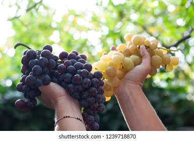 on a natural background in the hands of a bunch of green and blue grapes. fruit for wine, healthy food