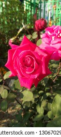 on ocassion of rose day...here is my garden's rose