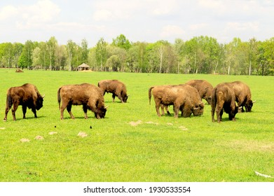 on the photo herd of bison grazing in a meadow