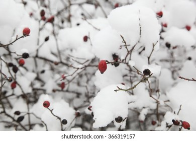 On a photo rosehips snow