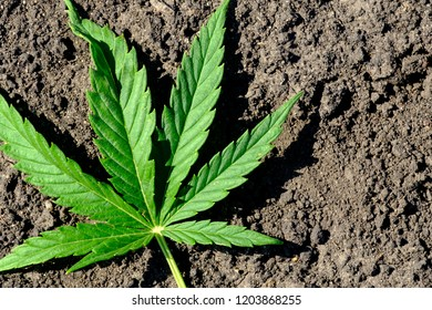 on the plowed ground is a sheet of marijuana, a six-leaf on the black ground