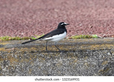 On the river side White wagtail (Motacilla alba / Black-backed wagtail)