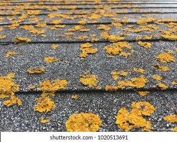 Up On A Roof Lichen on Asphalt Shingles