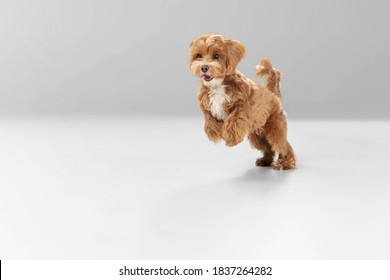 On the run. Maltipu little dog is posing. Cute playful braun doggy or pet playing on white studio background. Concept of motion, action, movement, pets love. Looks happy, delighted, funny.