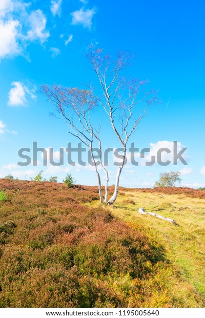 On the side of a hill on Stantaon Moor in Derbyshire stands a lone. tall and thin Silver Birch