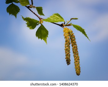 On a small branch of the birch grow the allergy causing fruit stalls with their pollen.