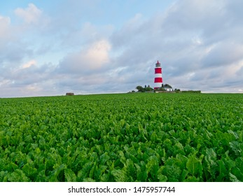 On a summer evening Happisburgh lighthouse stands surrounded by a sea of sugar beet