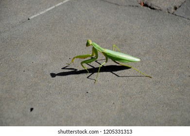 On a sunny day, a mantis slowly looks for a husband on the pavement.