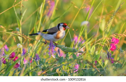 On a sunny summer morning, a goldfinch sits on a blade of grass in a field among flowers and holds a blade of grass in her beak