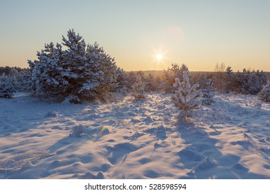 On a sunny winter day in the pine forest. Winter landscape