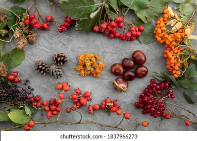 On the table are plants of a green pharmacy, used in alternative medicine - calendula flowers, rose hips, hawthorn and chestnut, viburnum, elderberry, mountain ash, pine cones and hop cones.
