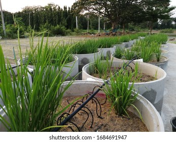 Cultivation​ rice​ in​ the tank​ for saving​ wat​er. Rice's​ plant​ on the​ tank. Agriculture. Farming system.​ Rice​ experimental.​ Research​ing