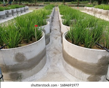 Cultivation rice in the tank for saving water. Rice's plant on the tank. Agriculture. Farming system. Rice experimental. Researching