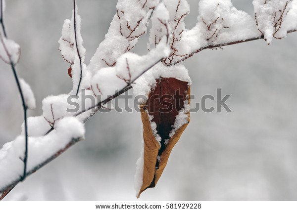 On the thin snowy twig hanging brown, withered leaf, covered in snow.