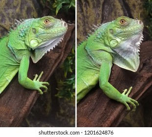 On the throat of a green iguana there is a large flat bag that can change its shape over a wide range, transforming an animal.