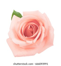 on top pink rose isolated on white background