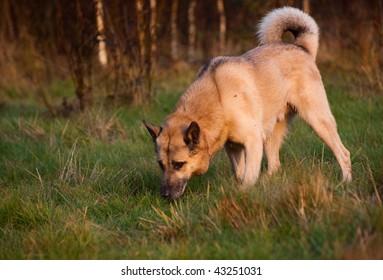 On the trail. West Siberian laika (husky)