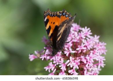 on a very sunny day in june in south germany you see details and colorful butterflies on rose or pink blossom with strong green background from garden plants around