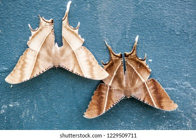 on a wall of a building there are two very beautiful Tropical Swallowtail Moth at the bottom