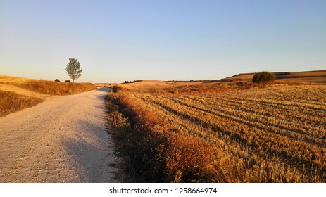 On the Way of St. James in Castile, wheat fields are everywhere in golden morning light.
