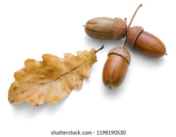 On a white background are three acorns and oak leaves, October
