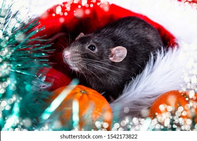 On a white fluffy blanket in a red Santa hat sits a black rat. animal, symbol of the year 2020 according to the Chinese horoscope. calendar. postcard. late arrival