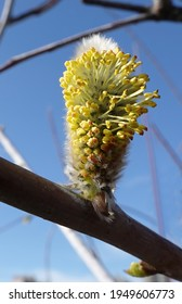 On the willow tree in spring, buds bloom fluffy and fragrant