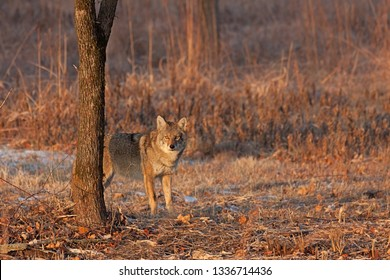 On a winter day a coyote stares down an intruder in its vision. Ears up, eyes opened wide, the coyote is not intimidated.