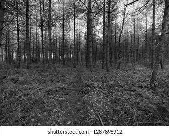 On a  winters morning in a dark damp forest a narrow muddy footpath passes between rows of tall fir trees.