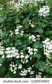 Oncidium White Flower