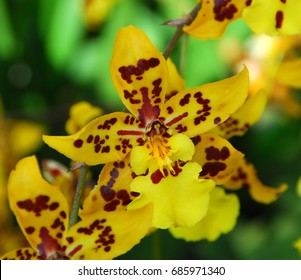 Oncidium Yellow brown Orchid flower in bloom in spring