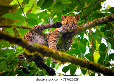 Oncilla. Wild cat. Ecuador.