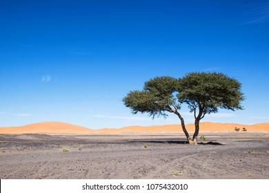 One acacia tree in the desert. Merzouga morocco. Black stone desert with sand dunes in the distance. Africe. Nature scene sahara. Scenic desert landscape.