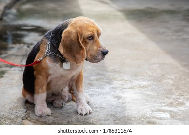 One adorable and old beagle dog is leashed outside the house alone in the morning showing his boring, feeling and waiting for his owner  which blurred background with copy space are shown.