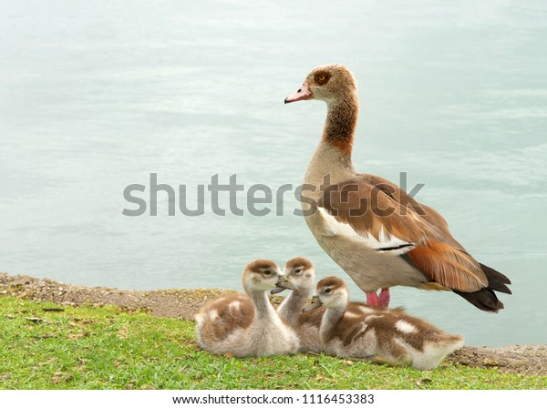 one-adult-egyptian-goose-baby-600w-11164