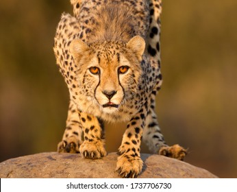 One adult female Cheetah crouching on a rock and looking straight towards the camera headshot