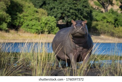 One adult hippo full body out of water looking alert with Chobe River in the background in Botswana
