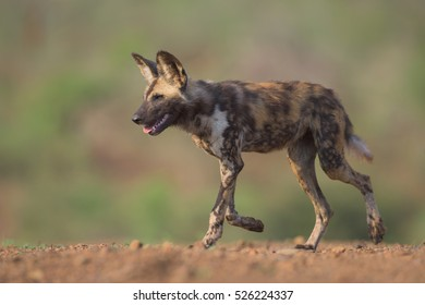 one African Wild Dog (lycaon pictus) running along a dirt mound during sunrise in Zimanga Private Game Reserve