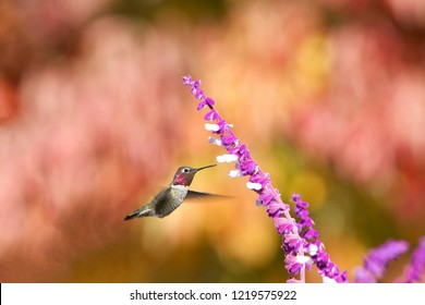 One  Annas Hummingbird drinking nectar from purple Mexican Sage flowers. Vibrant autum leaves in background out of focus with shallow depth of field.