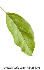 one apple leaf isolated on white background