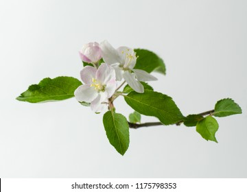 One Apple tree blossoms branch isolated on a white background. Minimalistic concept picture.