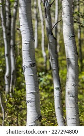 One Aspen tree trunk stands in sharp focus against more trunks, and yellow and green foliage