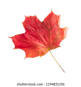 One autumn red maple leaf isolated on a white background