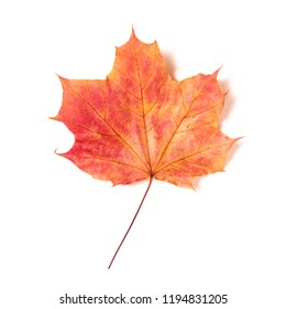 One autumn red-yellow maple leaf isolated on a white background