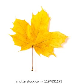 One autumn yellow maple leaf isolated on a white background
