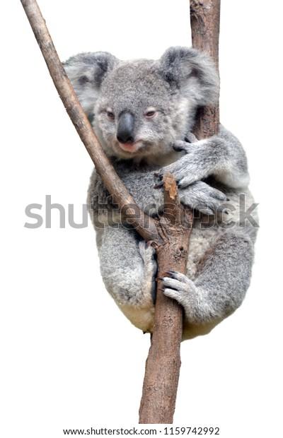 One baby cub Koala isolated on white background. Copy space