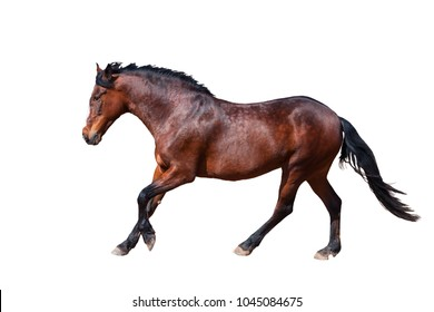 One Bay horse runs forward. Side view.