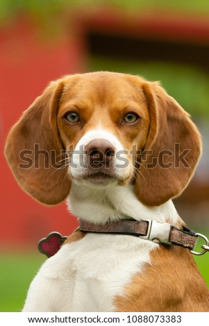 One beautiful beagle dog portrait on a leash outside in summertime looking at camera