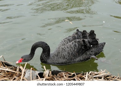 One beautiful black Swan eating something, cygnus atratus