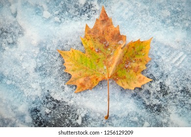 One beautiful colorful maple leaf on snow.